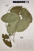 Image of Prestonia guatemalensis