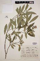 Image of Tabernaemontana cathariensis
