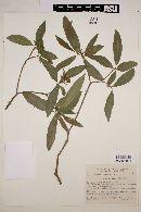 Image of Tabernaemontana catharinensis