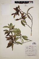 Image of Tonduzia longifolia