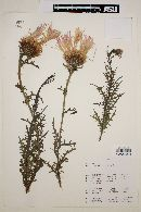Image of Centaurea chilensis