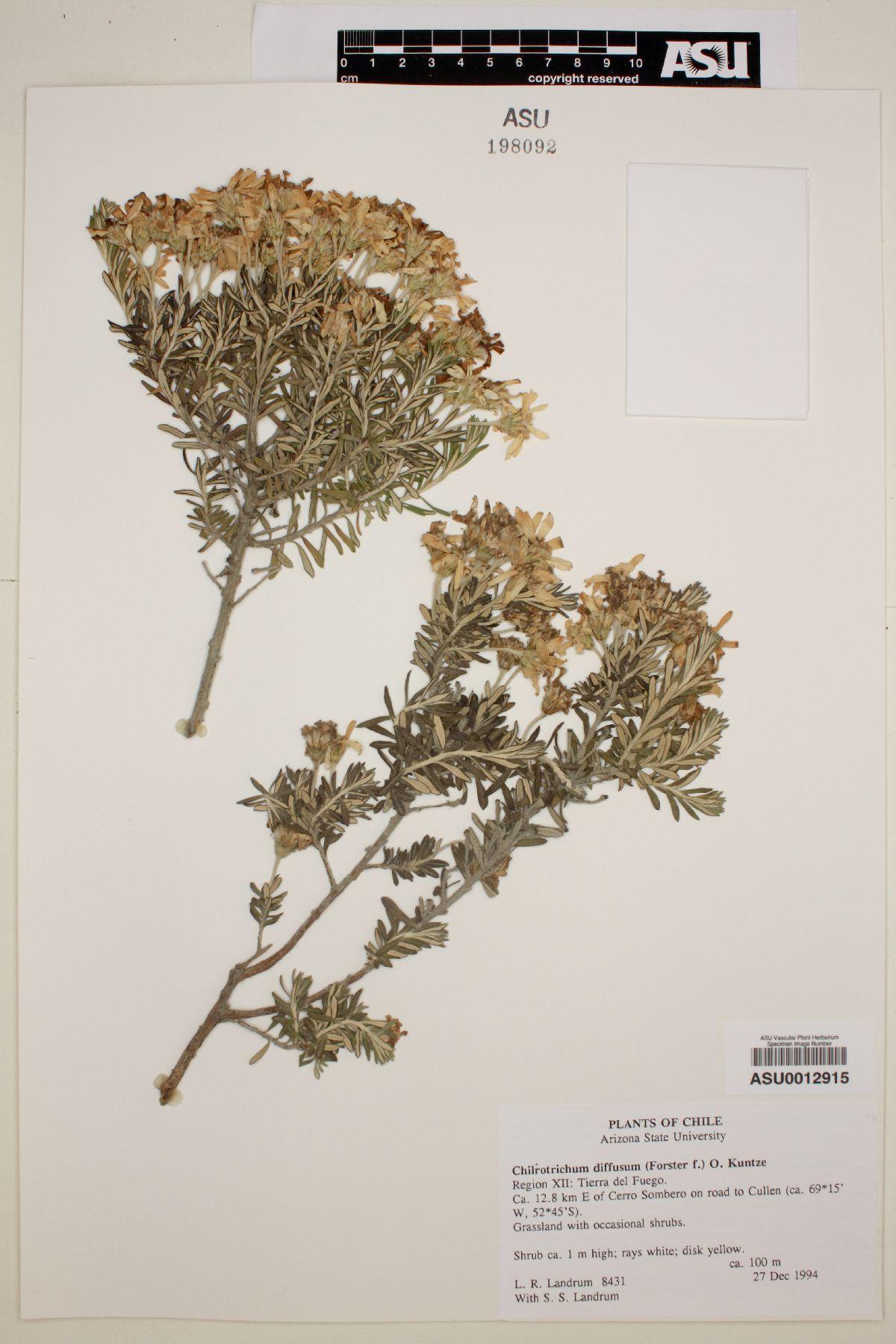 Chiliotrichum diffusum image