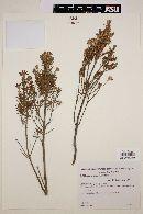 Chiliotrichum rosmarinifolium image