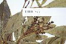 Pseudopanax laetevirens image