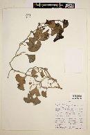 Aristolochia chilensis image