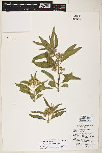 Image of Asclepias standleyi