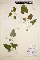 Cynanchum ligulatum image