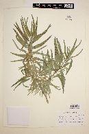 Image of Marsdenia carterae