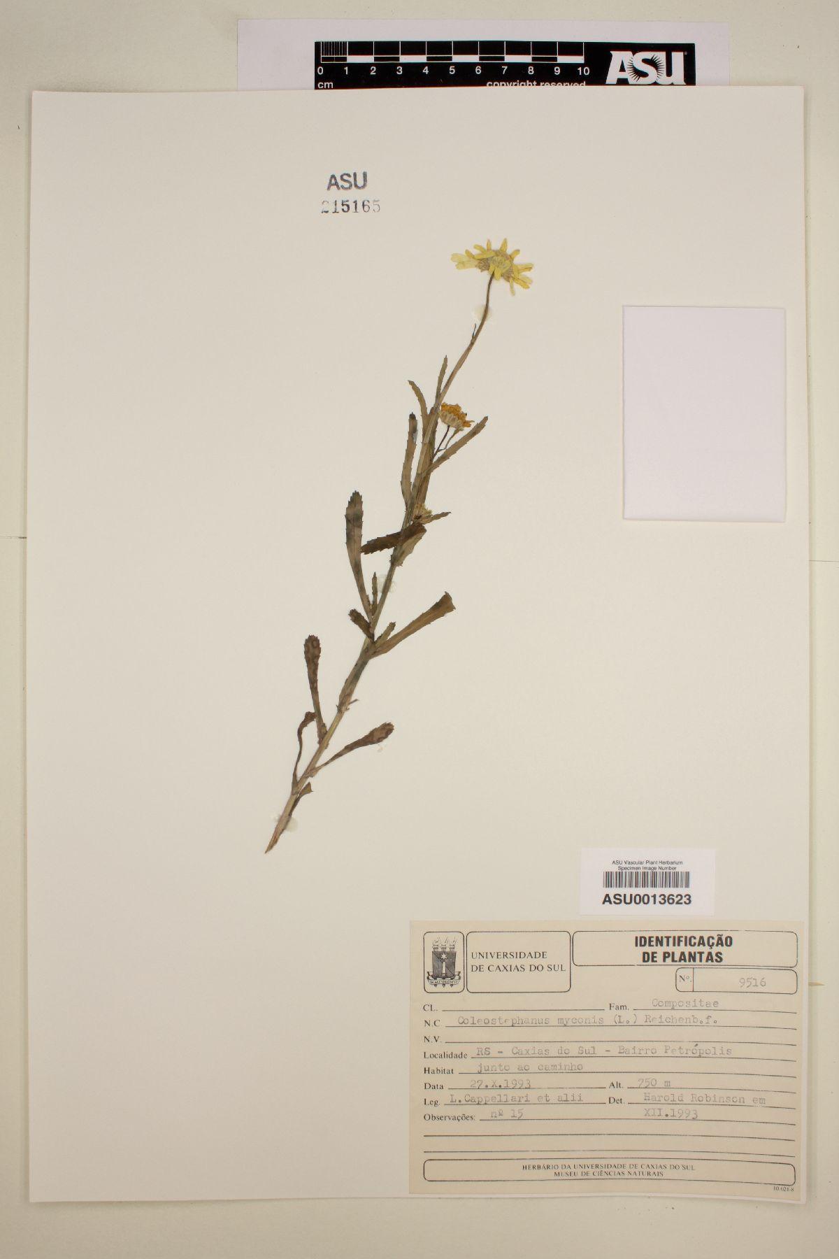 Coleostephus myconis image