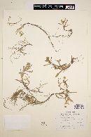Cotula coronopifolia image
