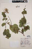Image of Bauhinia peninsularis