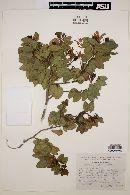 Image of Bauhinia retifolia