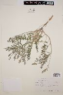 Astragalus pondii image
