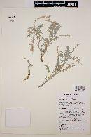Image of Astragalus proriferus