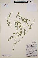 Image of Astragalus radicans