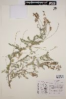 Image of Astragalus rupertii