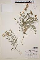 Astragalus fastidius image