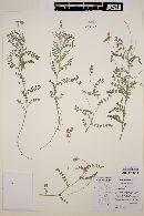 Astragalus greggii image