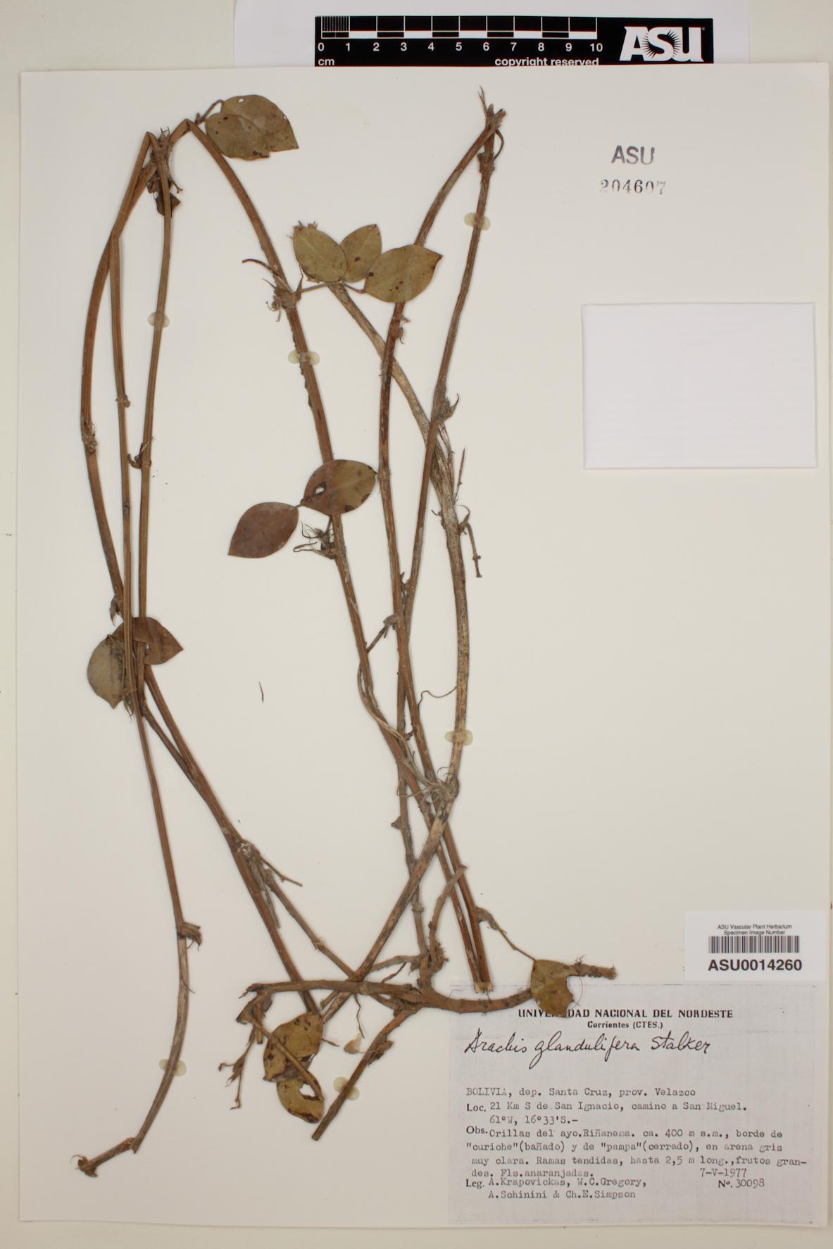 Arachis glandulifera image