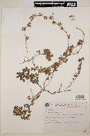 Image of Arachis prostrata