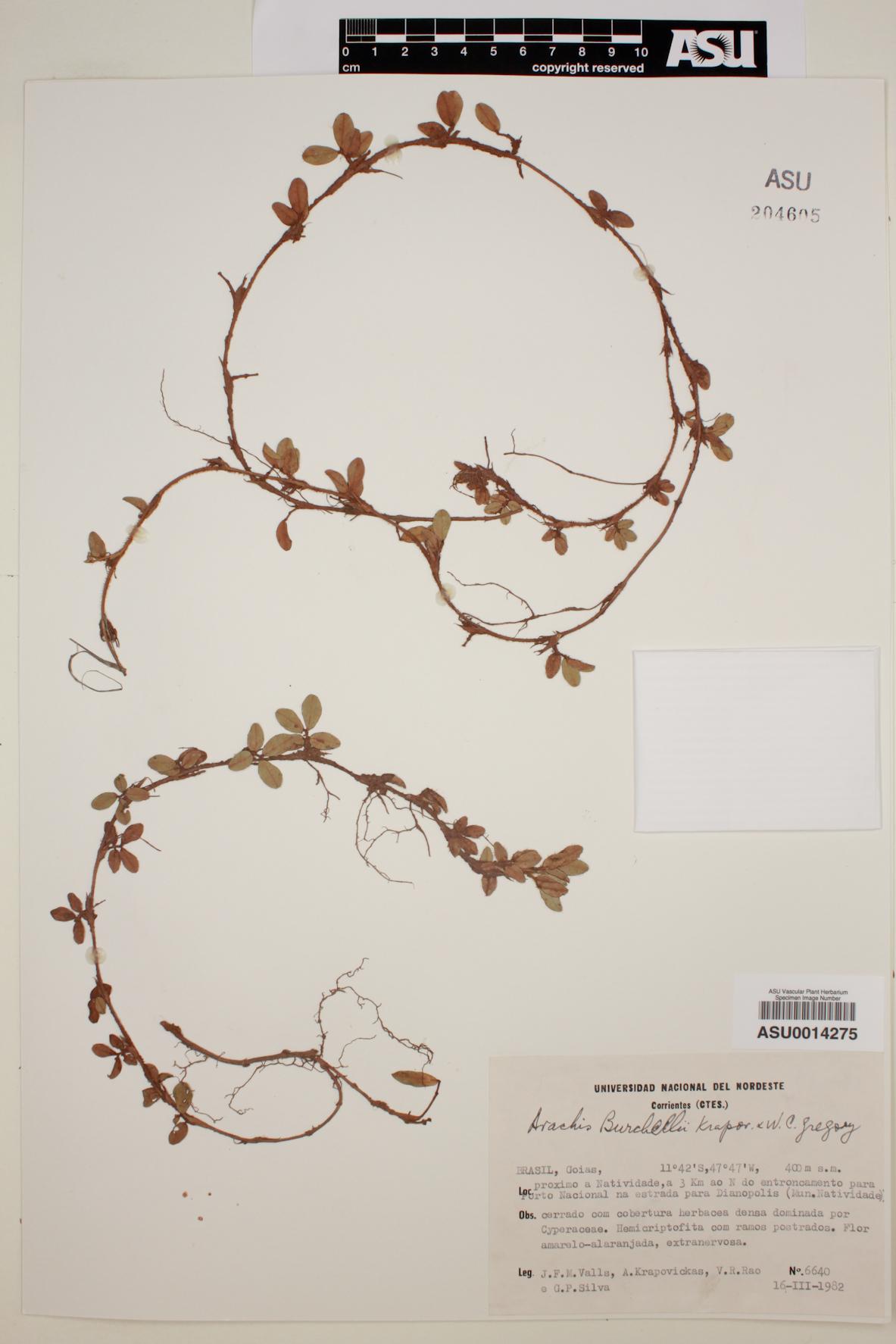 Arachis burchellii image