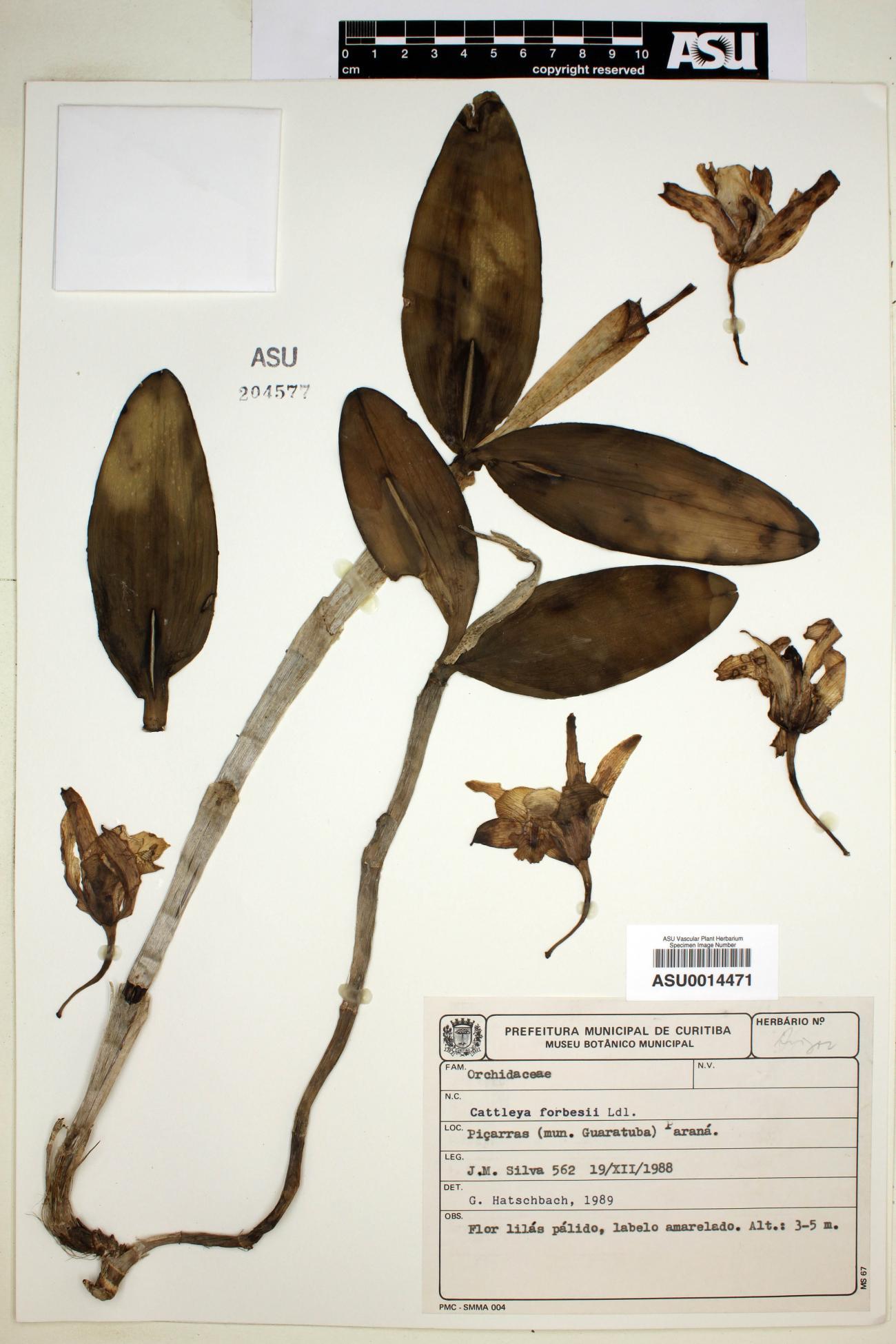 Cattleya image