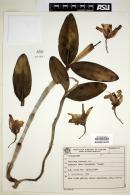 Image of Cattleya forbesii