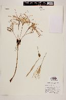 Hymenocallis pimana image