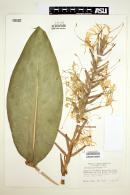 Image of Hedychium gardnerianum