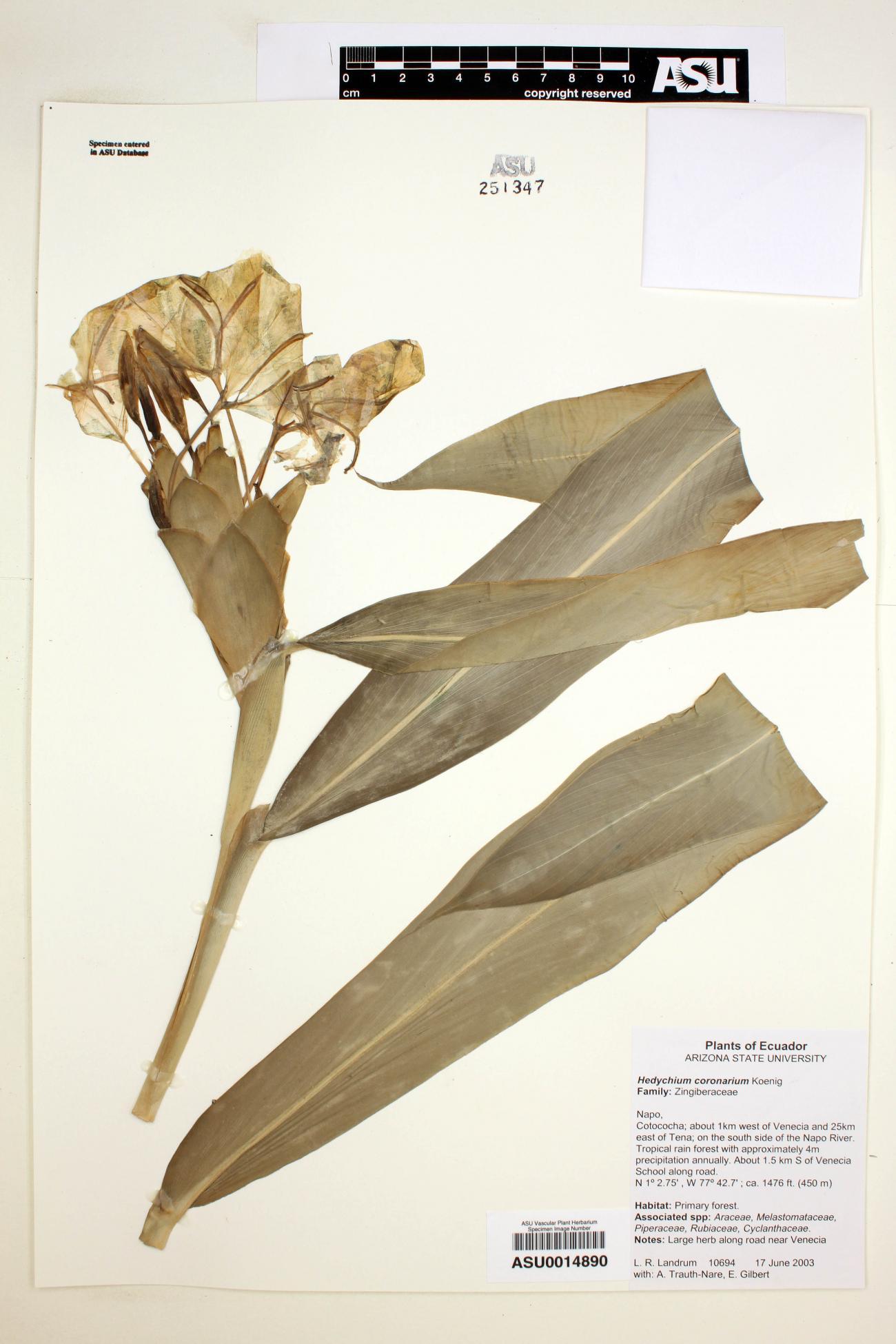 Hedychium image