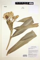 Image of Hedychium coronarium