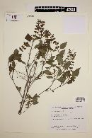 Ocimum campechianum image