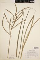 Image of Paspalum boscianum