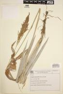 Image of Paspalum dasytrichum