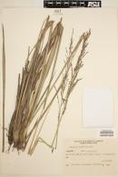Image of Paspalum durifolium