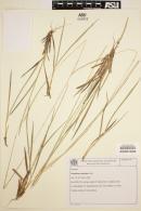 Image of Paspalum erianthum