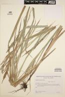 Image of Paspalum lenticulare