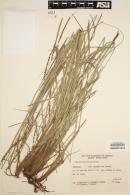 Image of Paspalum plicatulum