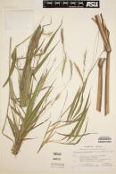 Image of Pennisetum bambusiforme
