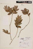 Psidium salutare var. sericeum image