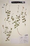 Image of Salvia coahuilensis