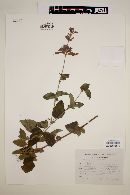 Image of Salvia curviflora