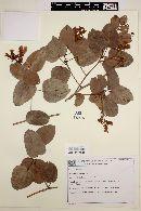 Bauhinia grazielae image