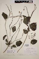 Heliotropium macrostachyum image