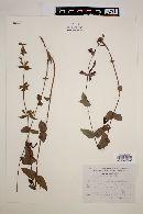 Image of Salvia angustiarum