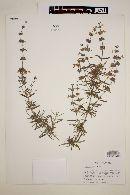 Image of Salvia brandegei