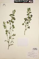 Brongniartia nudiflora image