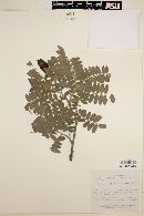 Image of Brongniartia vicioides