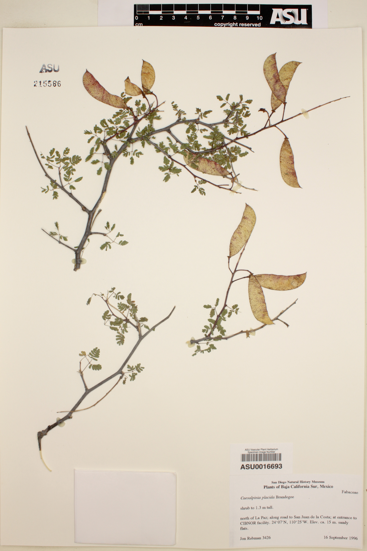Caesalpinia placida image