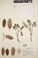 Caesalpinia platyloba image